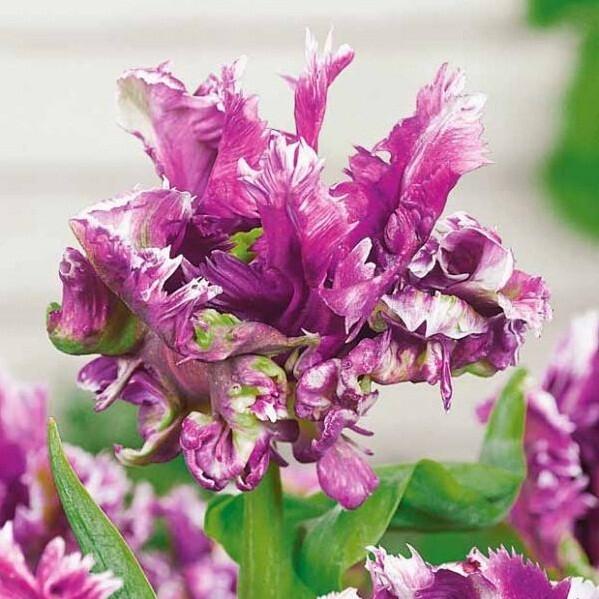 Тюльпан MYSTERIOUS PARROT
