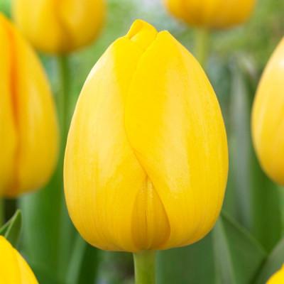 Тюльпан NOVI SUN